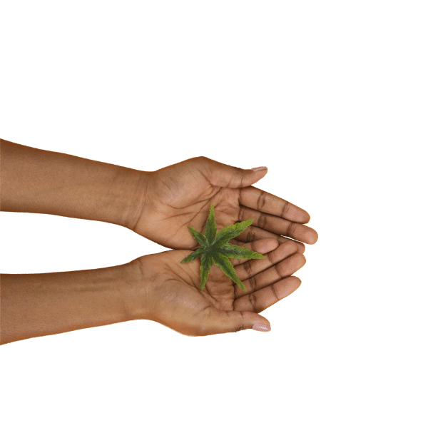 hands with hemp leaf