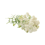 yarrow flower isolated